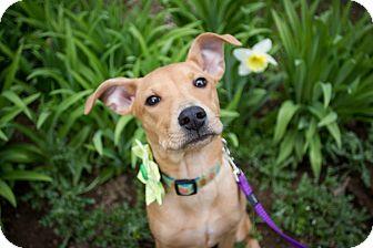 Beagle/Labrador Retriever Mix Puppy for adoption in Portland, Oregon - Amalie