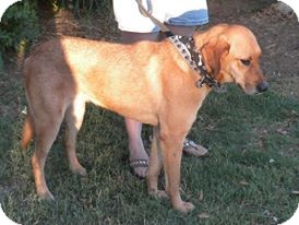 Bloodhound Mix Dog for adoption in Childress, Texas - Cissy