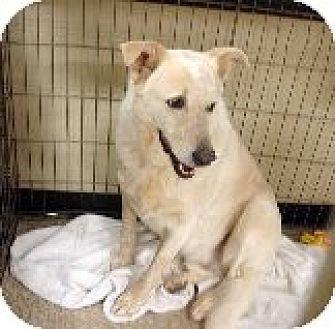 Husky/Greyhound Mix Dog for adoption in Las Vegas, Nevada - Lexi's Levi aka Freckles