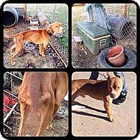 Adopt A Pet :: Chester - Blanchard, OK