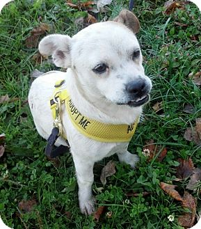 Shih Tzu/Jack Russell Terrier Mix Dog for adoption in Pennigton, New Jersey - Monica