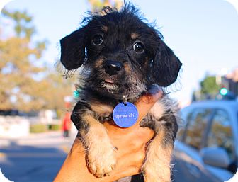 Dachshund/Poodle (Miniature) Mix Puppy for adoption in Los Angeles, California - Leroy