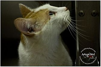 Domestic Shorthair Cat for adoption in Lago Vista, Texas - Egypt