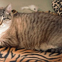 Siamese Cat for adoption in St Louis, Missouri - Earl
