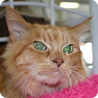Domestic Mediumhair Cat for adoption in Salem, Oregon - Mister Peaches (sh