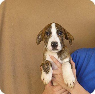 Plott Hound/Labrador Retriever Mix Puppy for adoption in Oviedo, Florida - Tucker