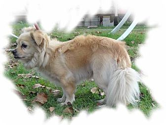 Chihuahua/Maltese Mix Dog for adoption in Jefferson, Texas - Star