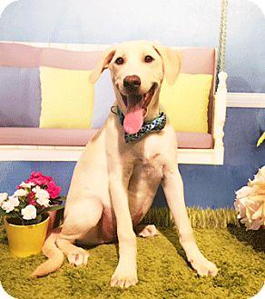 Labrador Retriever Mix Dog for adoption in Castro Valley, California - Carey