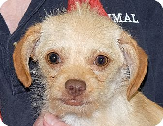 Terrier (Unknown Type, Small) Mix Puppy for adoption in Spokane, Washington - Spoof