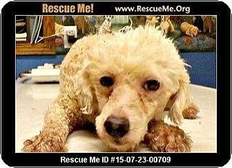 Poodle (Miniature) Dog for adoption in Columbus, Kansas - Snowman