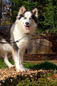 Siberian Husky Dog for adoption in Roswell, Georgia - Queen