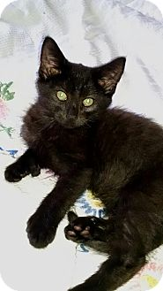 Domestic Shorthair Kitten for adoption in Bloomsburg, Pennsylvania - Pawlee