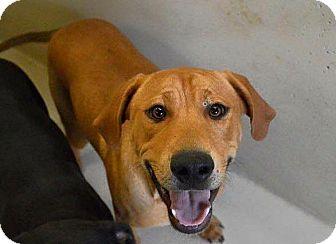 Labrador Retriever Mix Dog for adoption in Oxford, Connecticut - Berkley