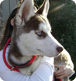 Siberian Husky Puppy for adoption in Memphis, Tennessee - Bijoux