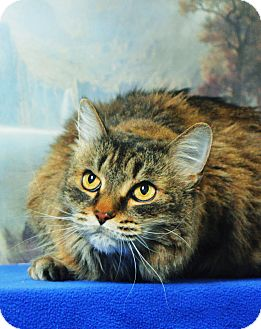 Domestic Mediumhair Cat for adoption in Buena Vista, Colorado - Roxy