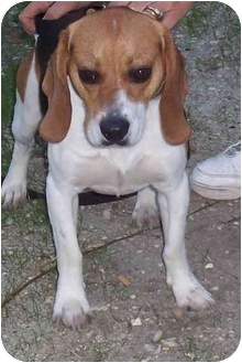 Beagle Dog for adoption in Ventnor City, New Jersey - BAILEY