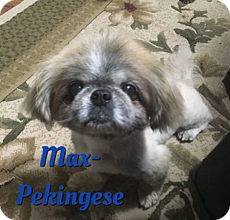 Pekingese Dog for adoption in Cheney, Kansas - Max