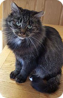 Domestic Mediumhair Kitten for adoption in Washburn, Wisconsin - Mama Bear