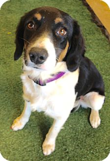 Spaniel (Unknown Type)/Border Collie Mix Puppy for adoption in Phoenix, Arizona - Dixie