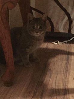 Domestic Mediumhair Cat for adoption in North Branch, Michigan - Earl Grey