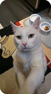 Manx Cat for adoption in Kenai, Alaska - Smudge