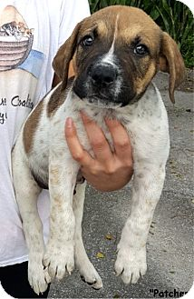 Hound (Unknown Type) Mix Puppy for adoption in Key Largo, Florida - Patches