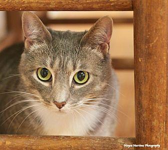 Domestic Shorthair Cat for adoption in Homewood, Alabama - Boo