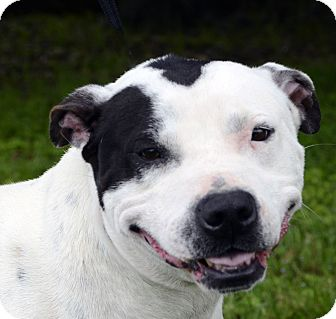 Pit Bull Terrier Mix Dog for adoption in LAFAYETTE, Louisiana - HUDSON