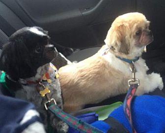 Shih Tzu Dog for adoption in Providence, Rhode Island - Teddy & Cadin in RI Bonded pair CP