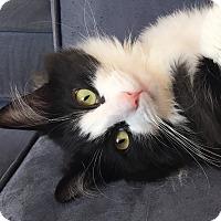Adopt A Pet :: Felix - Toronto, ON