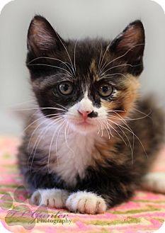 Calico Kitten for adoption in Yukon, Oklahoma - Beatrice