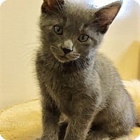 Adopt A Pet :: Kitten York - Seal Beach, CA