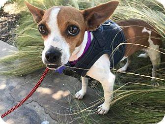 Dachshund Mix Dog for adoption in Houston, Texas - Brazil