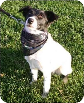 Border Collie/Jack Russell Terrier Mix Puppy for adoption in Auburn, California - Elaine