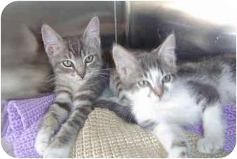 Domestic Shorthair Kitten for adoption in Overland Park, Kansas - Benny & Bobbi