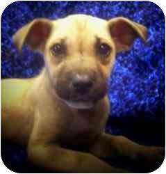 Miniature Pinscher/Hound (Unknown Type) Mix Puppy for adoption in Old Bridge, New Jersey - Laura
