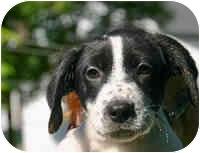 Dalmatian/Spaniel (Unknown Type) Mix Puppy for adoption in Avon, New York - Stuart