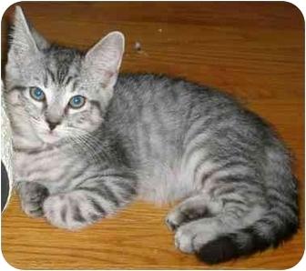 Domestic Shorthair Kitten for adoption in Medford, Massachusetts - R2D2