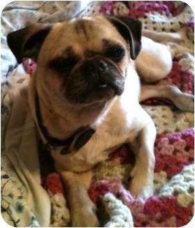 Pug Dog for adoption in Newburgh, Indiana - Peggy Sue