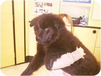 Newfoundland/Chow Chow Mix Puppy for adoption in Lombard, Illinois - Angus