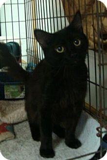 Domestic Mediumhair Kitten for adoption in Harrisonburg, Virginia - Peeta