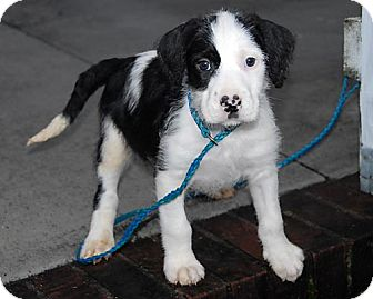 Border Collie/Retriever (Unknown Type) Mix Puppy for adoption in Freeport, New York - Pocahontas