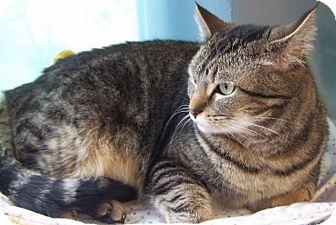 Domestic Shorthair Cat for adoption in Grants Pass, Oregon - Joy