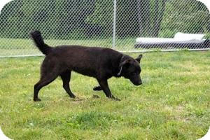 Labrador Retriever Mix Dog for adoption in Villa Hills, Kentucky - Cooper