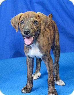 Terrier (Unknown Type, Medium) Mix Puppy for adoption in Groton, Massachusetts - Sport