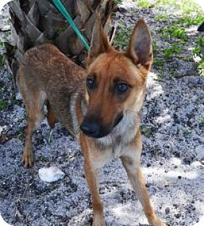 Shepherd (Unknown Type) Mix Dog for adoption in Miami, Florida - Twiggy