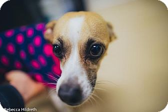 Chihuahua Mix Dog for adoption in Gloucester, Massachusetts - Lily