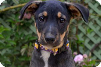 Terrier (Unknown Type, Medium)/Labrador Retriever Mix Puppy for adoption in San Francisco, California - Zac