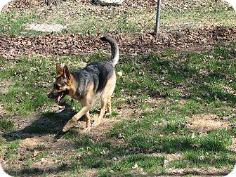 German Shepherd Dog Dog for adoption in Portland, Maine - Roman (Fostered in Maine)