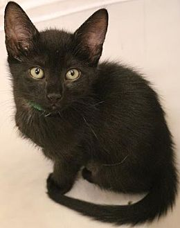 Bombay Cat for adoption in Atlanta, Georgia - Orvillette